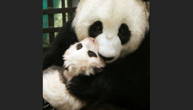 Ķīnā diennaktī piedzimuši četri milzu pandu mazuļi