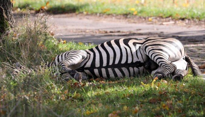 Vācijā izbēgusi zebra izraisa avāriju uz autobāņa; dzīvnieku nošauj