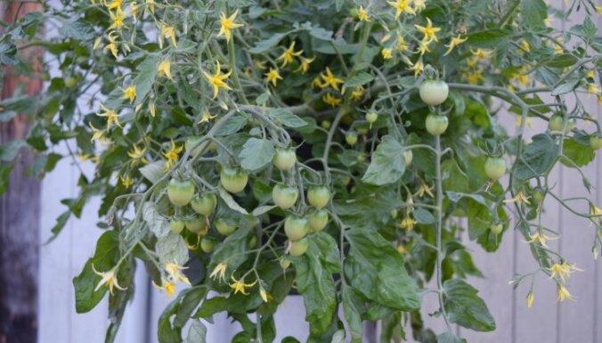 Augļu dārzs gaisā: septiņi augi, kas izskatīsies labi iekārti