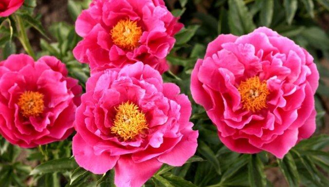 Stādaudzētāju tops: krāšņākie košumkrūmi un skaistākie augi dārzam
