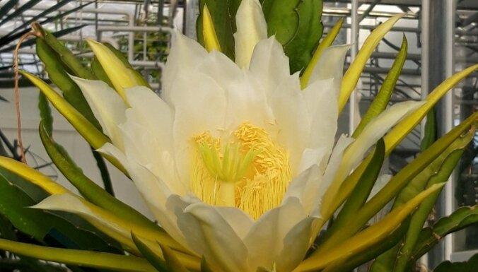 Priecē tikai vienu nakti – Nacionālajā botāniskajā dārzā ziedus raisījis eriocerejs