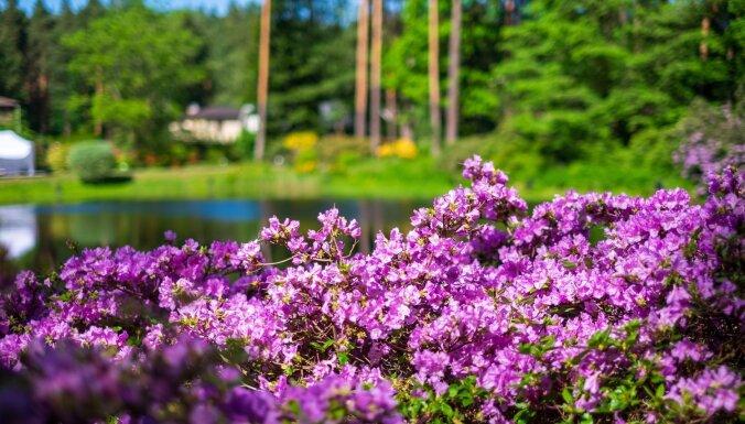 ФОТО. Сказочное цветение рододендронов в Бабите