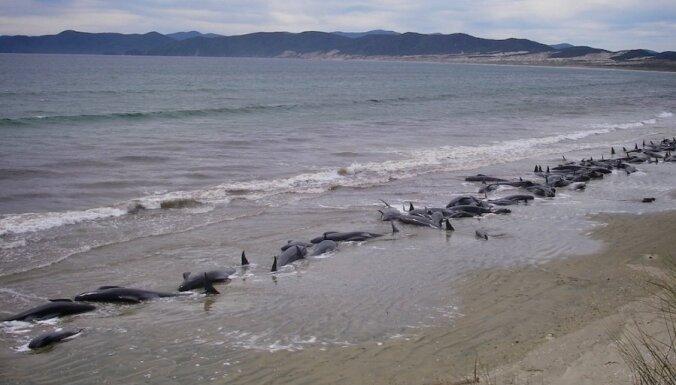 Pie Jaunzēlandes izskalo 90 vaļus