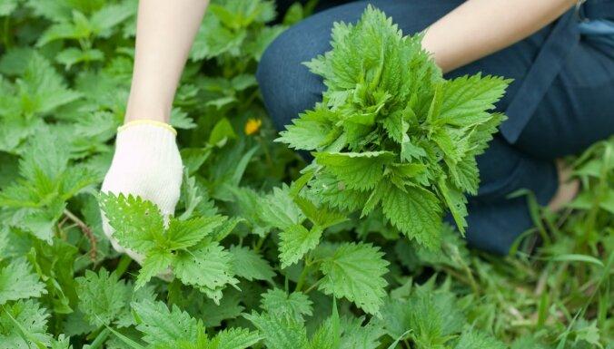 Iesaka eksperts: nātru vircas recepte dārza veselībai