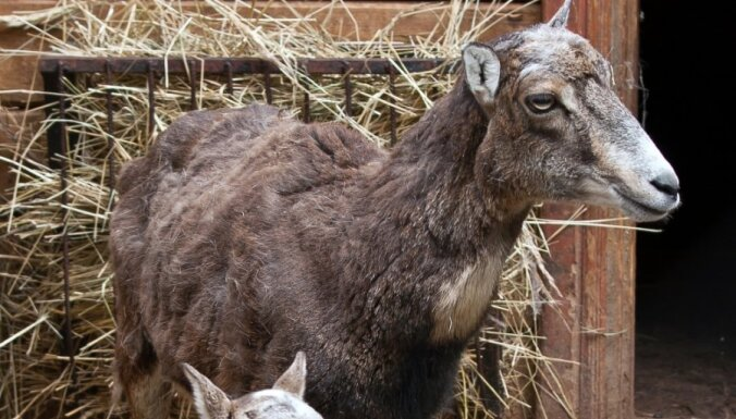 Италия выставит на аукцион баранов, чтобы сократить госдолг
