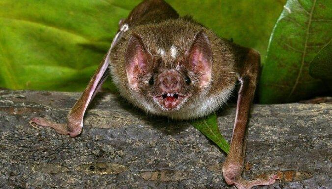 bat, sikspārnis