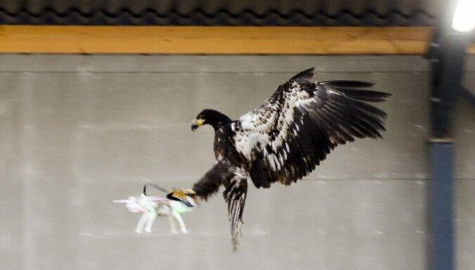 Nīderlandes policija apmāca ērgļus dronu ķeršanā