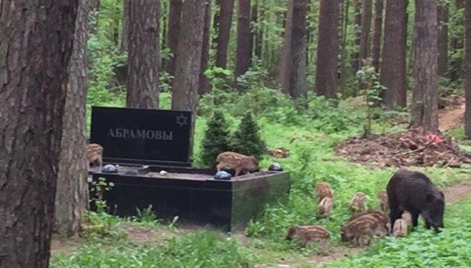Kupla mežacūku ģimene 'rušinās' kapos; Ušakovs meklē risinājumu
