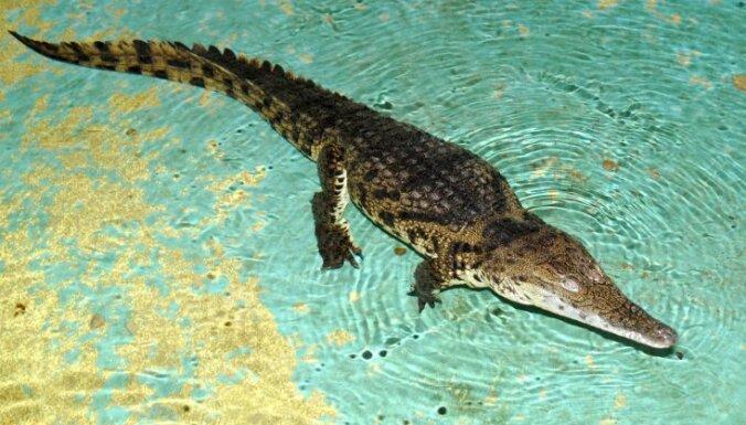 Зрители жалуются: крокодил Гоги выступает в цирке с пастью, заклеенной скотчем