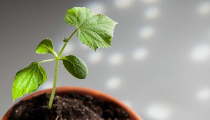 Sēšanas gudrības: kā pareizi sēt un audzēt gurķus