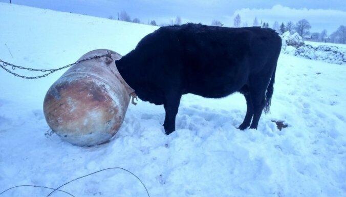 VUGD glābj govi, kas iebāzusi galvu mucā un iesprūdusi