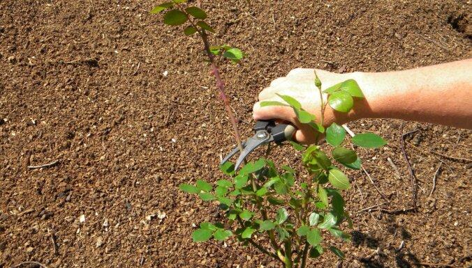 Iesaka speciāliste: kā pareizi iestādīt rozi