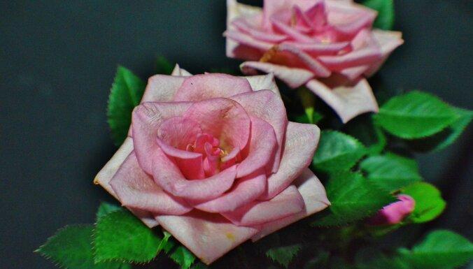 Декоративные розы дома: как за ними правильно ухаживать