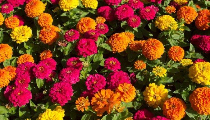 Все о цветах. Цинния многолетняя, посадка и уход