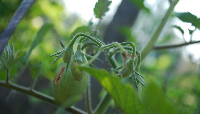 Eksotiski augi, kurus var izaudzēt pašu dārzā