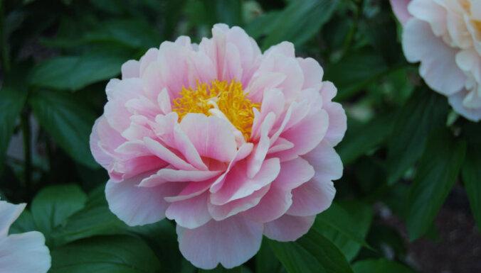10 Latvijā iecienītas peoniju šķirnes audzēšanai dārzā