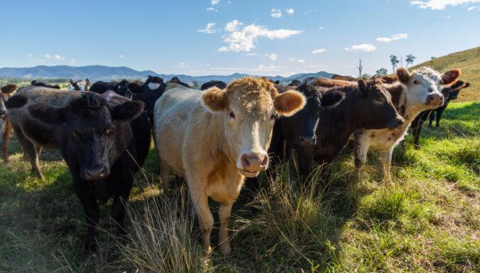 Vientuļa mežacūka iefiltrējusies ganāmpulkā un vairākus mēnešus dzīvo kopā ar govīm
