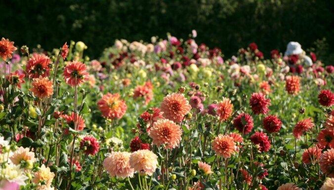Foto: LU Botāniskajā dārzā krāšņi zied dāliju kolekcija