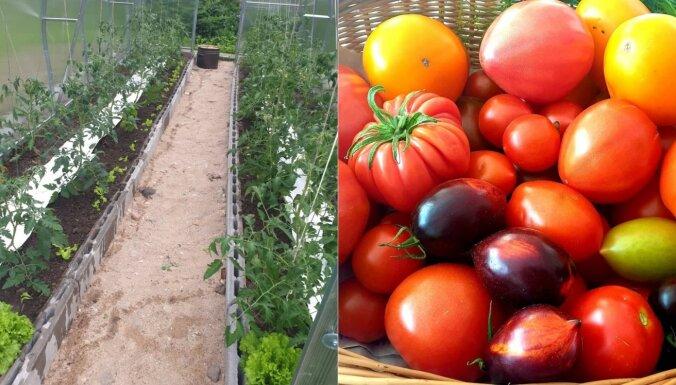 Pieredzes stāsts: kā siltumnīcā audzēt tomātus, lai tie mazāk jālaista