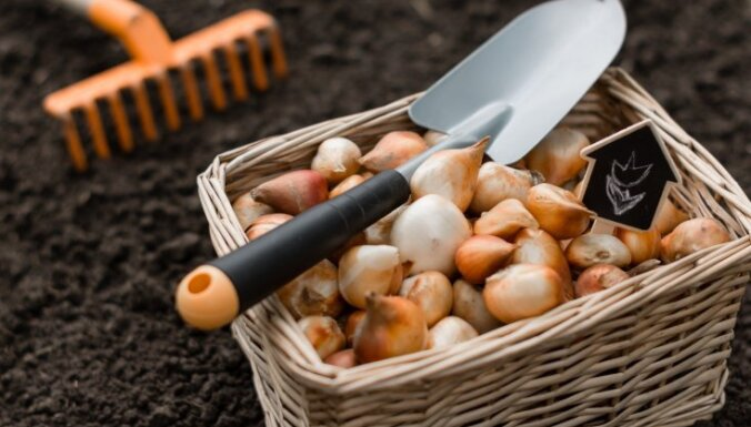 Более 1000 латвийских тюльпанов не прошли фитосанитарный контроль на границе