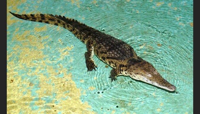 Нильский крокодил в зоопарке несколько раз уже пытался напасть на посетителей