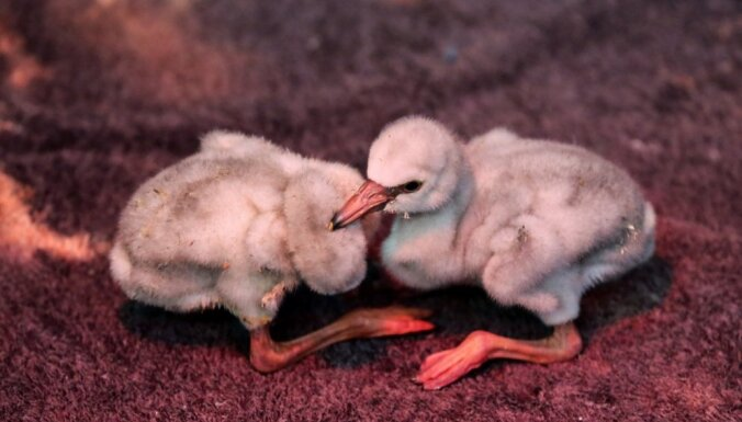 Glābēji Dienvidāfrikā uzņēmušies rūpes par 2000 pamestiem flamingo mazuļiem