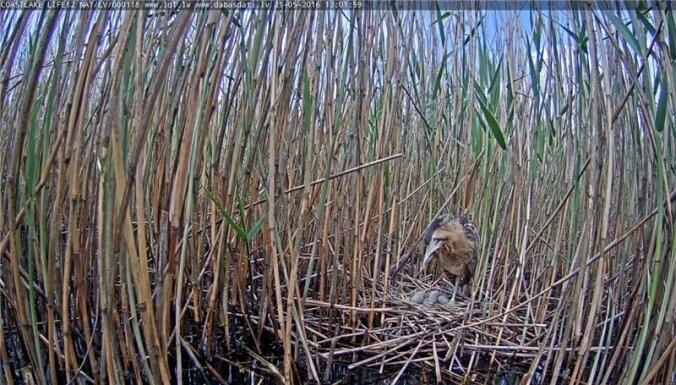 Video: Izsalkusi ūdele tiešraidē izposta lielā dumpja ligzdu un izēd visas oliņas