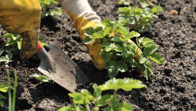 No dobes izveides līdz mulčēšanai – stādaudzētāja ieteikumi zemeņu audzēšanā
