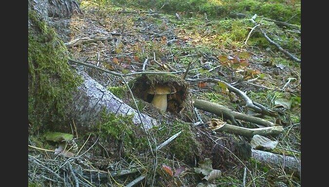 В лесах Латвии по-прежнему растут грибы