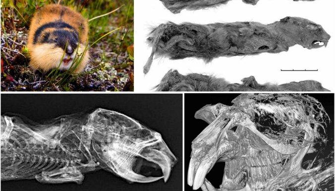 Jakutijā atrastā leminga mūmija ir 40 000 gadus sena, secina pētnieki