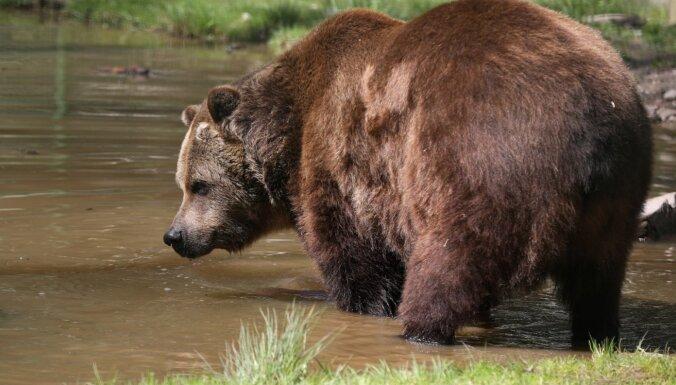 """Якутская пенсионерка """"перерычала"""" медведя, он испугался и убежал"""