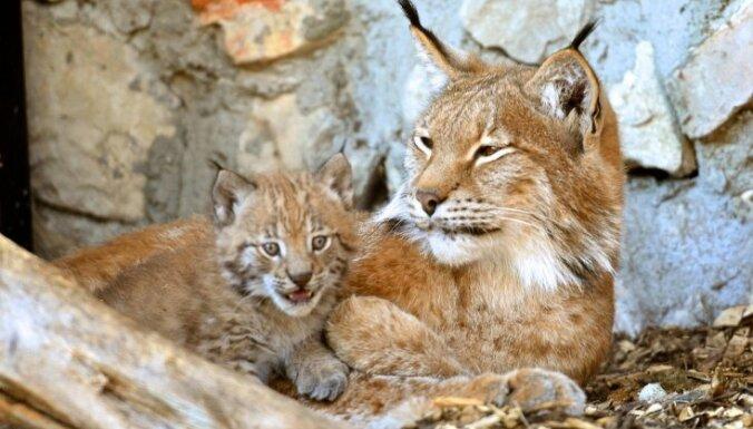 Lūsenes nomedīšanas gadījums: savākti 200 paraksti par šo dzīvnieku medību ierobežošanu