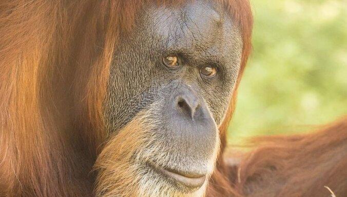 Miris pasaulē vecākais orangutans