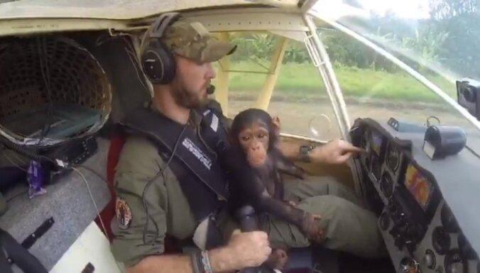 Video: Sēžot pilotam klēpī, konfiscēta šimpanze aizlido uz rehabilitācijas centru