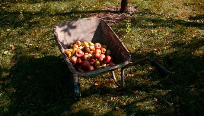 Ko darīt ābeļu dārzā, lai nākamā gada raža būtu bagātīga
