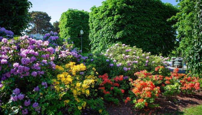 ФОТО. Спешите видеть: Как цветут рододендроны в Юрмале