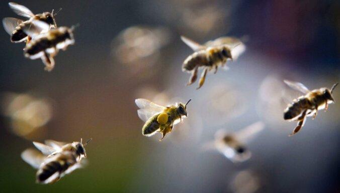 Atpazīst sejas un jūt emocijas: mazzināmi fakti par bitēm