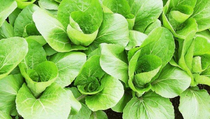 Kā padzīt strupastes, kas posta dārzu?