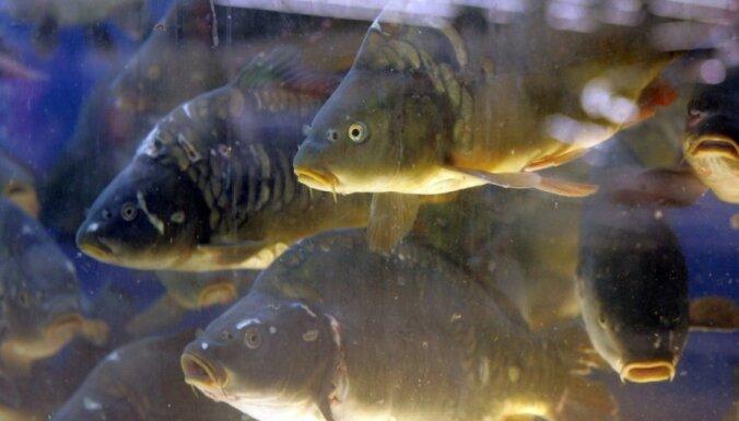 Austrālijā zēns noķēris par sevi lielāku zivi
