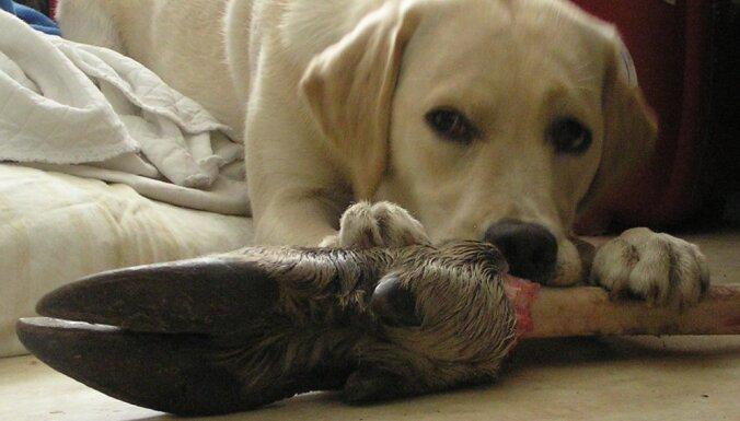 Vai sunim var dot kaulus?