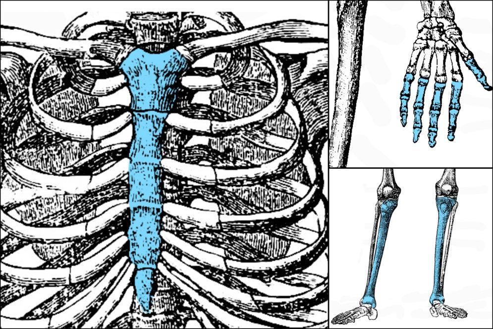 ТЕСТ: Сколько костей в человеческом скелете ты сможешь распознать?