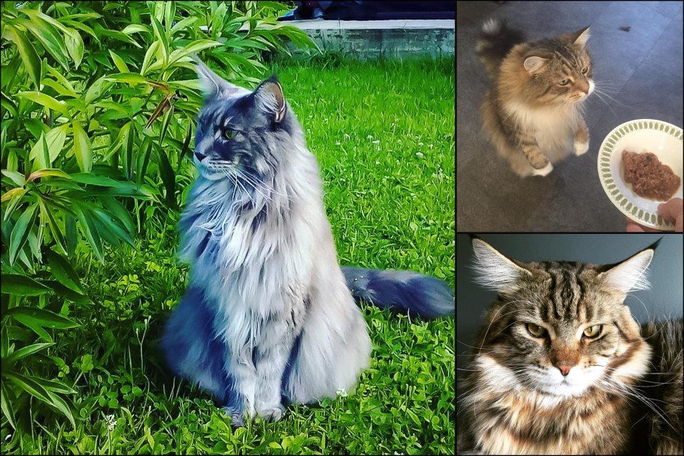 Уже лев или еще кот? 17 отличных ФОТО гигантских пушистых мейн-кунов