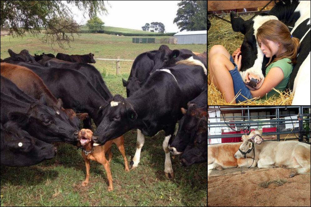 ФОТО: 20 доказательств того, что коровы — это просто очень большие собаки