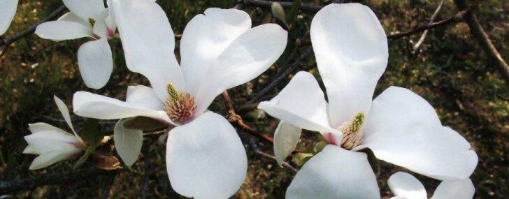 Foto: LU Botāniskajā dārzā sākusies pasakaino magnoliju ziedēšana