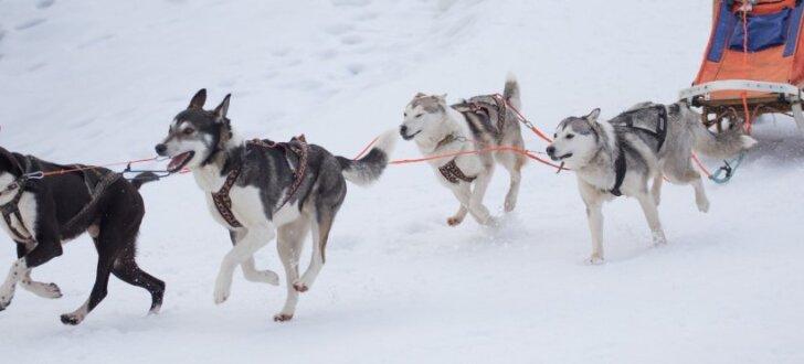 Foto: Kamanu suņu sacensībās Madonā pulcējas aktīvākie mīluļi