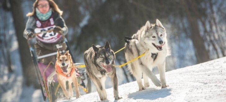 Foto: Latvijai divas uzvaras Pasaules kausā kamanu suņu sportā Madonā