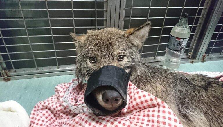 Igaunijā izglābtajam vilkam nedēļu klusē raidītājs; bažas par dzīvnieka nošaušanu