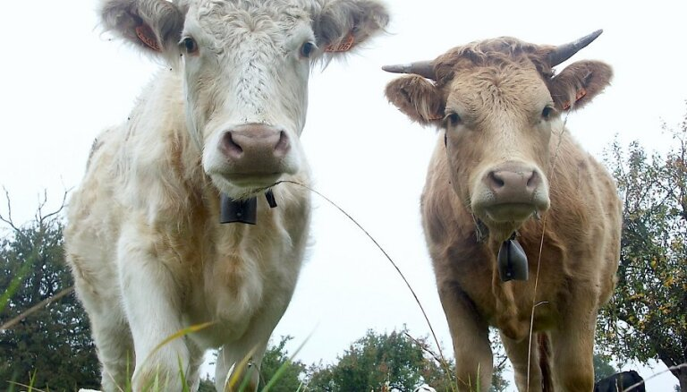 В Латгалии мужчина на машине врезался в коров