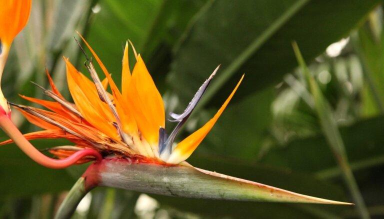 ФОТО. В Ботаническом саду ЛУ расцвела королевская стрелитция