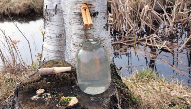 Brīnumainais pavasara dziednieks – bērzu sulas. Kāpēc un kad tās vislabāk lietot